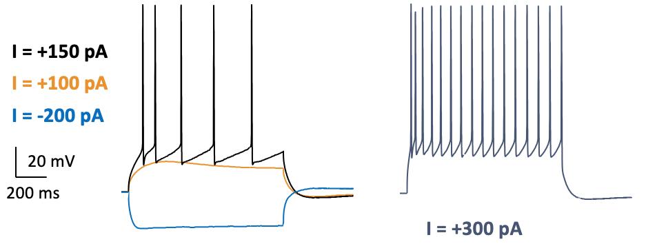 L2 3 Cortex pyramidal neuron firing activity