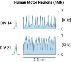 Burst shape human motor neurons HD MEA