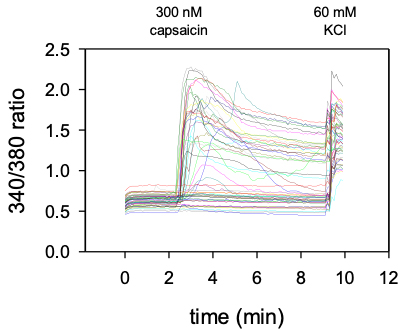 Calcium Imaging - Firing activity induced by capcaisin