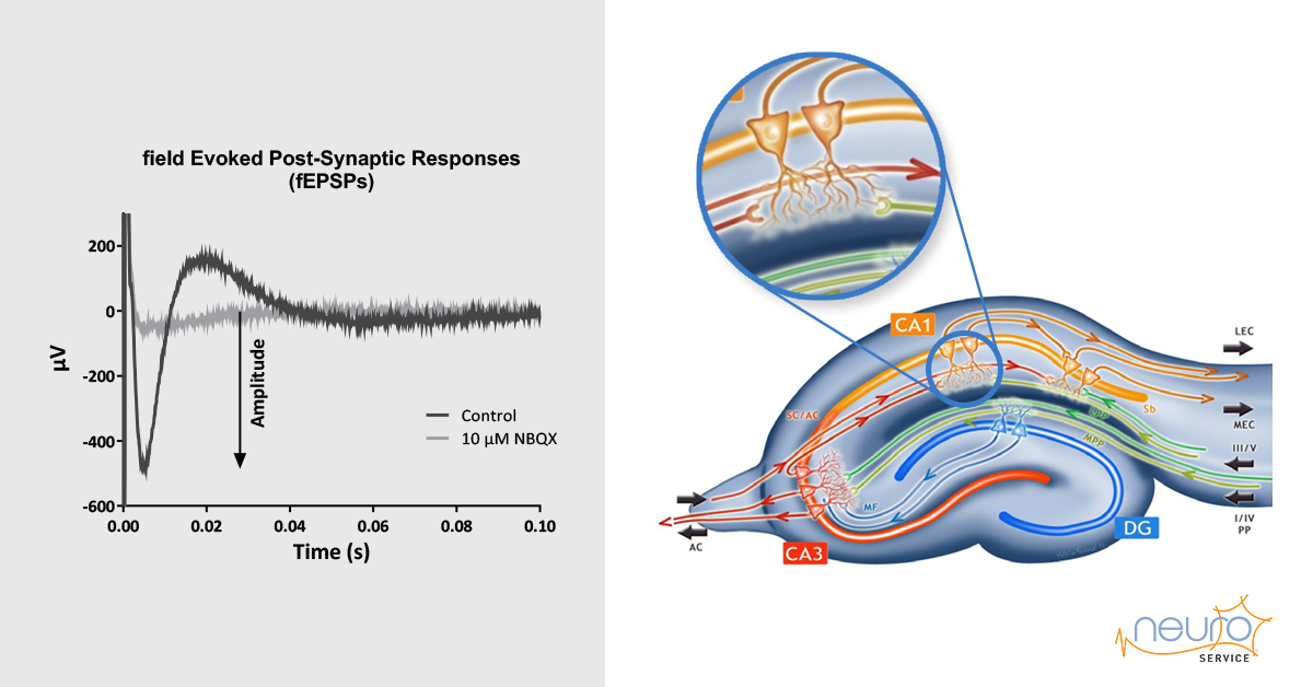 Transgenic Alzheimer's Disease mice slice electrophysiology
